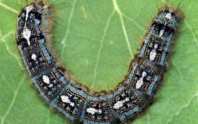 Control Programs for Forest Tent Caterpillars & Elm Bark Beetles