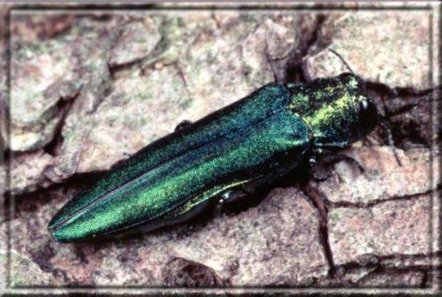 Emerald Ash Borer Devastation