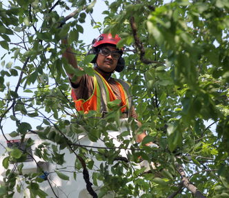 Cuts to city's budget limits ability to battle tree diseases